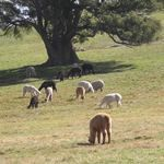 Pinjarra Alpacas For Sale