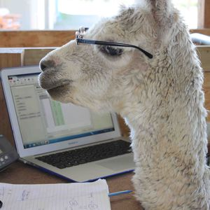 Alpaca at Work - Pinjarra Alpacas For Sale