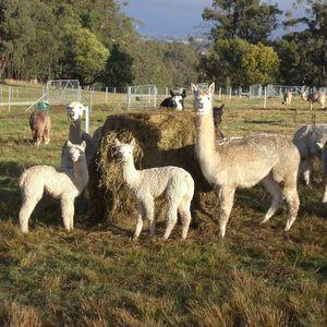 Alpaca Agistment - Pinjarra Alpacas For Sale