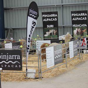 Alpaca Showing at Pinjarra