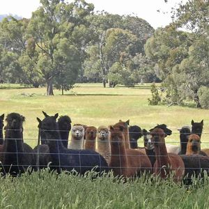 Pinjarra Alpacas For Sale