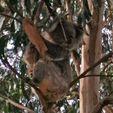 Koala - Another resident at Pinjarra Alpacas Farm - Pinjarra Alpacas For Sale