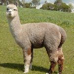 Stud Male alpaca for sale