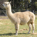 Alpaca female for sale